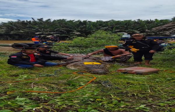Dimas Bocah (8Th) di Bengalon akhirnya Ditemukan di Perut Buaya, Bengalon, Kutai Timur (Kutim) KALTIM.